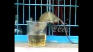 wao video {rat drinking alkahel}