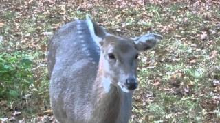 Doe sounds