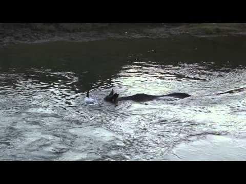Rhino bathing (swimming), safari, Nepal. Носорог купается