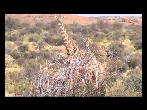 Encountering  of giraffes in Augrabies Falls National Park in South Africa