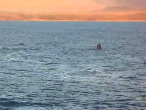 Whale breaches in Hermanus Bay