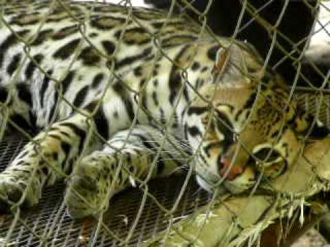 Nicaragua, Estelí Cigar Factory Wildcat