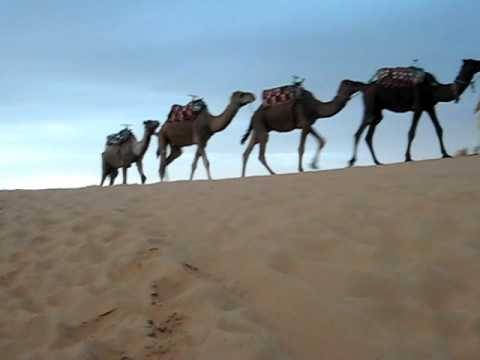 Morocco: camels in Sahara