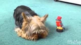 Perros de la diversión y divertidos Yorkshire Terriers divertido