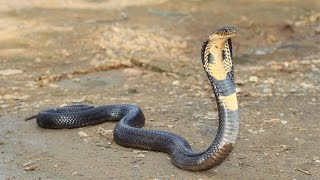 WILD KING COBRA GETS ANGRY!
