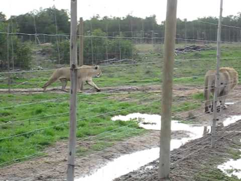 Supper Time at the Lion Rescue.avi