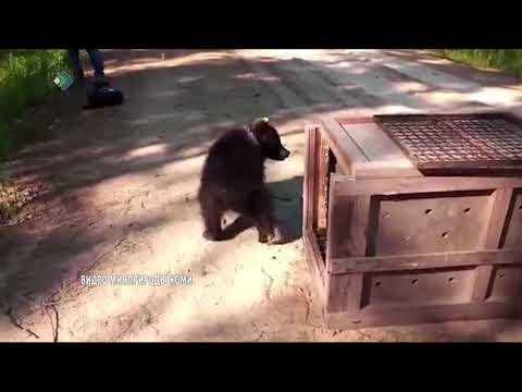 Медведица Пужа вернулась на родину