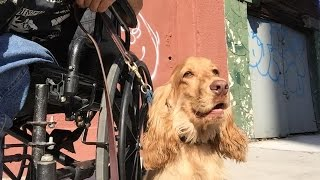 Service Dog Wheel Chair training, Habituate Dog to Chair or Walker