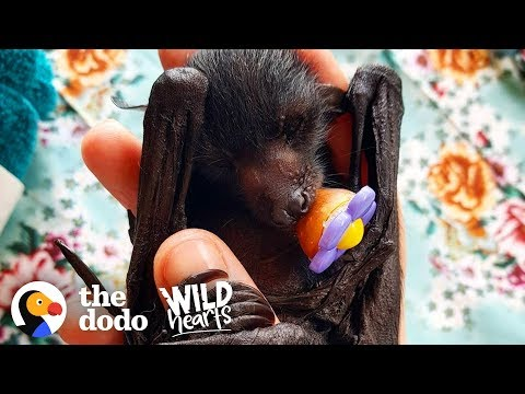 A Day in the Life of a Rescued Flying Fox  | The Dodo Wild Hearts
