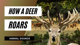 The Animal Sounds: Deer Roar -  Sound Effect - Animation