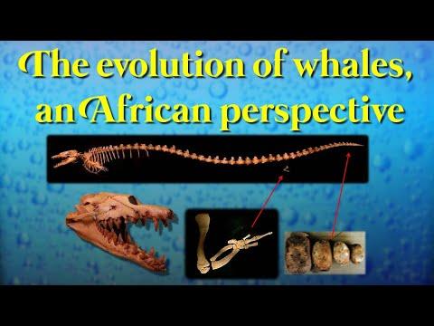 Un point de vue africain sur l'évolution des cétacés