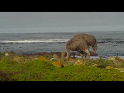 Close Encounter with an Ostrich near Cape Point, South Africa