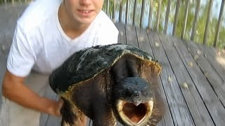 How to properly hold a Snapping turtle