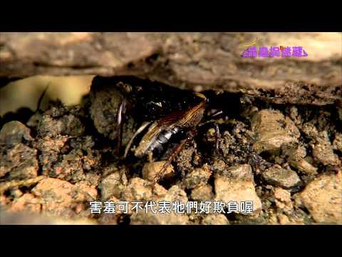 《昆蟲捉迷藏》夏夜晚風中的田野演奏家【六足提琴師:蟋蟀】 - YouTube