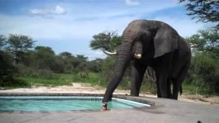 Slon na bazenu
