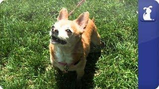 Doglopedia - Chihuahua