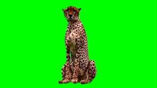 Green Screen Animals - Cheetah Stock Footage Video