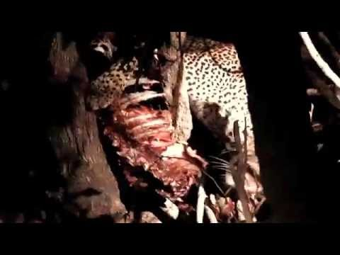 Australia0811 Travels – Journey Through Africa – Leopard Kill in South Luangwa National Park, Zambia