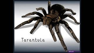 Tarantula Song Spheria