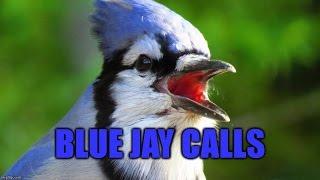 Blue Jay Calls