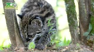 Gato do mato - Zoo Pomerode