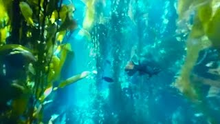 360° Diving Exploration of Kelp Forest Aquarium - Big Blue Live - BBC Earth Unplugged