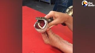 Vet Massages Tennis Ball Out Of Snake