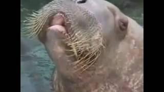 Obey the Walrus\Obedece a la morsa\(Uncut and in Full)