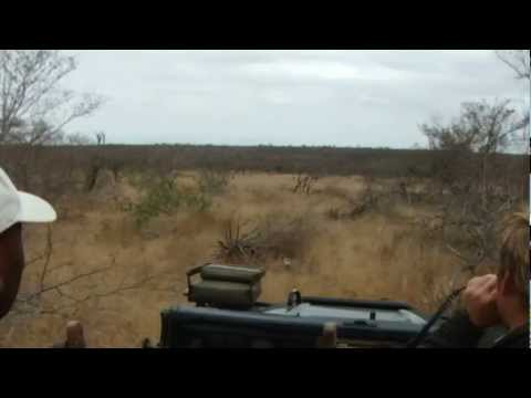 Chasing Wild Dogs on Safari in South Africa.