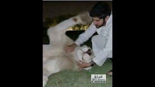 Sheikh Hamdan (فزاع Fazza) Meet Moochi the lion 🦁 👑