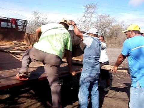 Chargement de Porky – cargando cerdo – Nicaragua