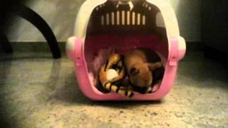 Olivia: la tigre giocattolo