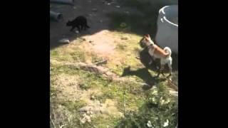 Lola vs Gato Negro