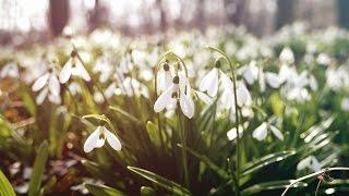 Hóvirág /Alcsúti arborétum