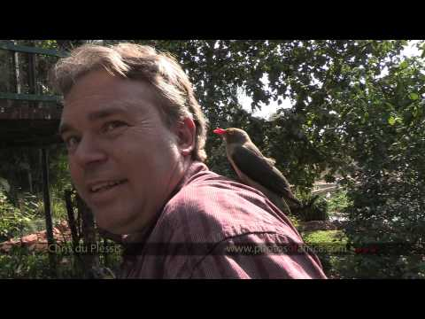 Oxpeckers feeding on human head – South Africa Travel Channel 24