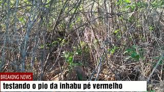 Como piár lambu pé Vermelho. inhambu chororó (veja o vídeo todo) tmj