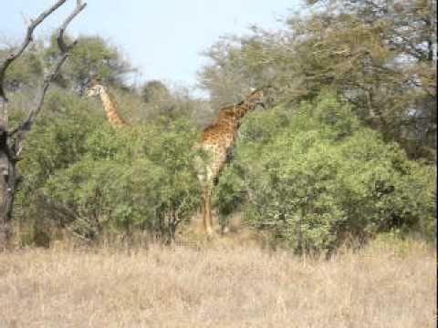 Giraffen im Kruger Park