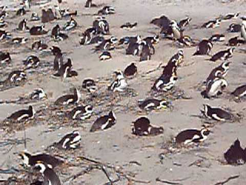 南アフリカのペンギン penguin South Africa