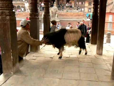 Nepal Patan – Goat