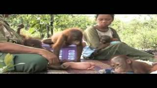 Orangutans, a matter of survival - WSPA