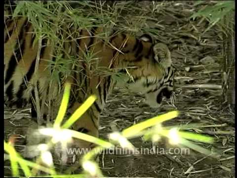 There's a tiger among bamboo shrubs in India's jungle