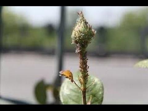 Come eliminare parassiti e funghi dalle rose fai da te mania for Pidocchi rose bicarbonato