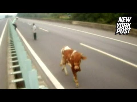 O vaca pe autostrada