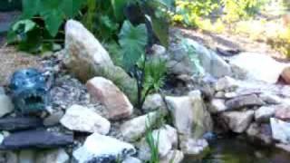 First Lotus blossum in the Green Dragon Garden