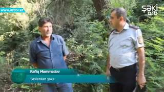 Ismayillida narkotik bitkilerin qanunsuz ekib-becerilmesiyle meshgul olan shexs saxlanilib