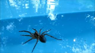 Wolf Spider Running, Walking, Swimming, on Water