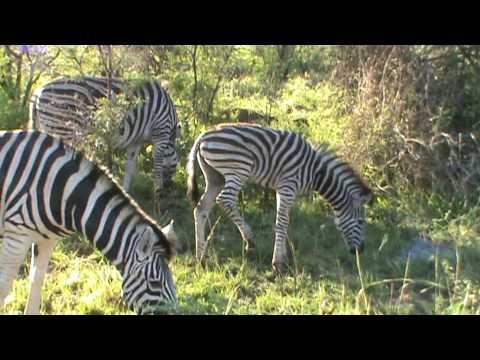 Zebre al Pilanesberg Park