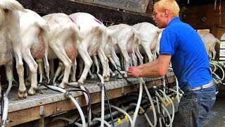 Milking Goats - Goat Farm in Holland