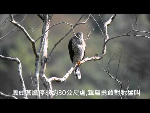 1050425布洛灣灰喉山椒鳥生態