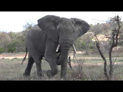Elephant threatens to charge when we're stopped for coffee